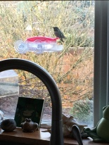 Hummer Anna Hummingbird at the window feeder